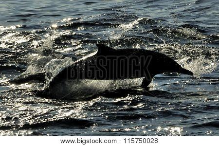 Silhouette Of Dolphin, Swimming In The Ocean  And Hunting For Fi
