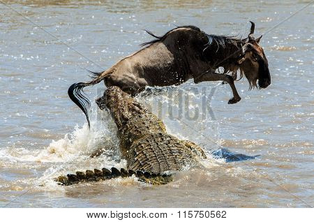 On a hair from death. Crossing through the river Mara.The antelope Blue wildebeest ( connochaetes taurinus ) has undergone to an attack of a crocodile.