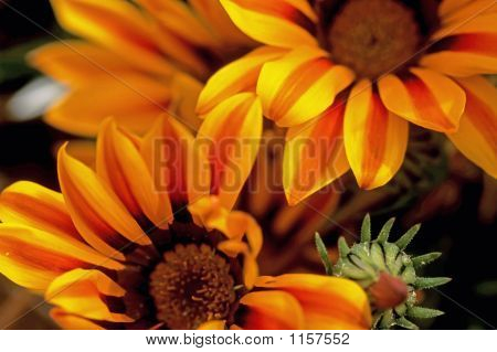 Coober Pedy Blumen