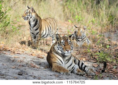 Tigress And Cubs. In A Sunny Day The Tigress Lies On A Forest Glade. India . Bandhavgarh National Pa
