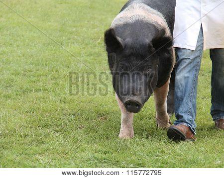 Large Show Pig.