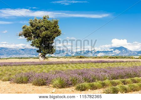 lavender field with a tree, Plateau de Valensole, Provence, France