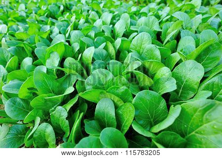 Green leaf mustard crops in growth at vegetable garden