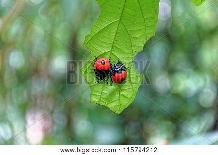 Red ladybug Coccinella septempunctata on the leaf