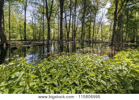 Swamps In The Polish Forest