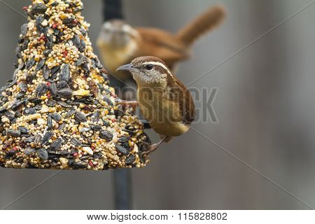 Pair Of Carolina Wrens (thryothorus Ludovicianus) Feeding