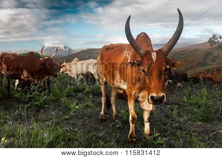 Zebu cows on the island of Madagascar