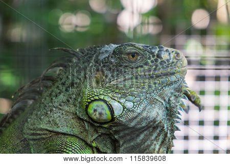 Close-up Iguana with beautiful blurred Bokeh background