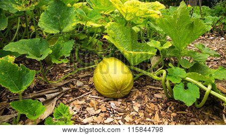 Large Yellow Squash
