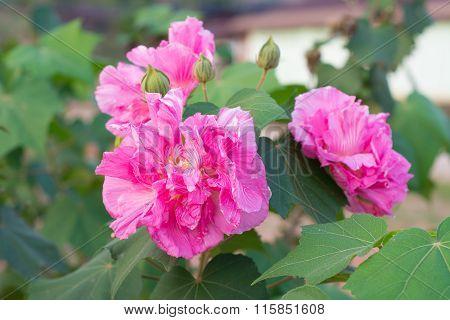 Confederate Rose Flower ( Hibiscus Mutabilis)