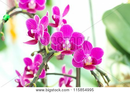 Corsage Of Pink Orchid.
