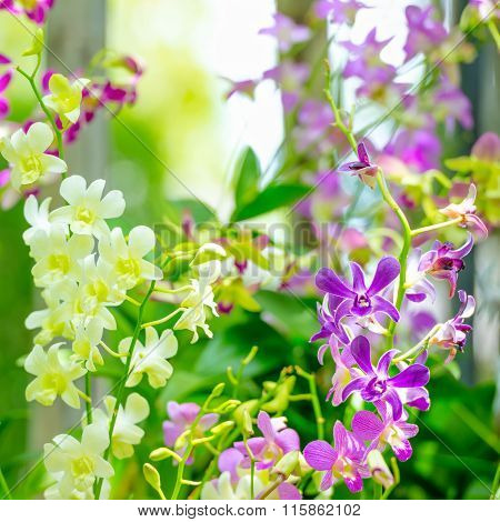 Beautiful Branches Of Purple, Yellow Orchid, Dendrobium On Green Blur Background, Close Up