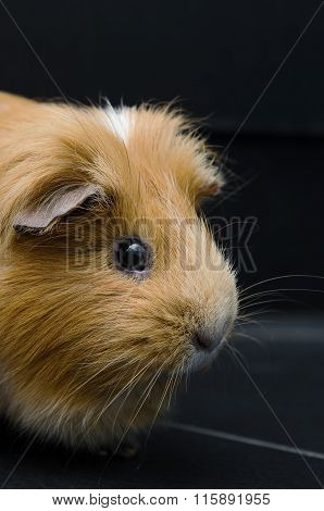Portrait Of Red Guinea Pig On Black Background.