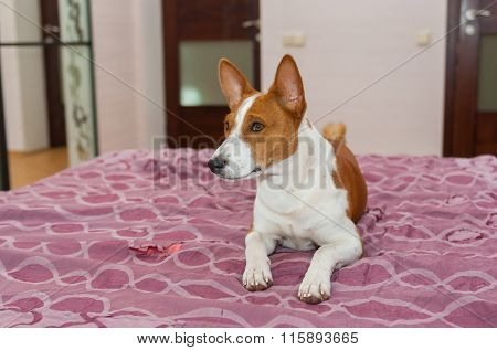 Basenji dog is lying on the bed-spread that is torn out by itself