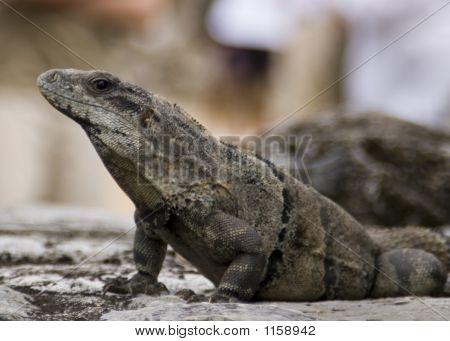 Iguana In Tulum