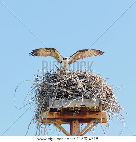 Osprey (pandion haliaetus) landing at its nesting site wings spread glaring at the intruder taking photographs