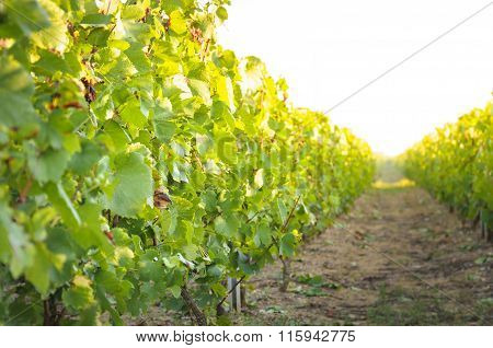 Vineyards And Sunny Day, France