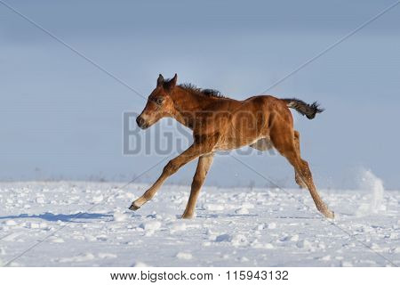 Colt run gallop in snow field at winter day