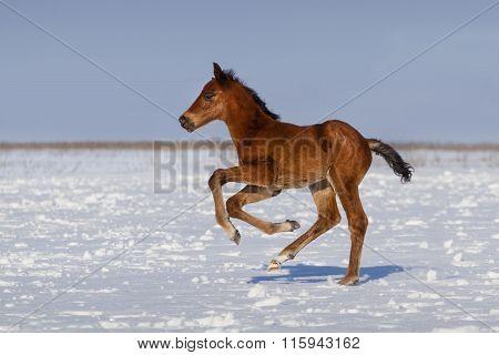 Foal run in snow