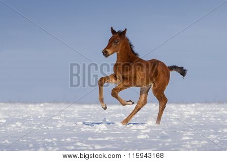 Colt in snow