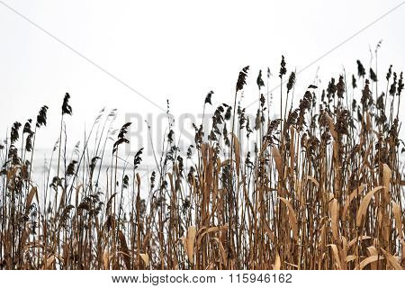 Winter Fields Of Bulrush