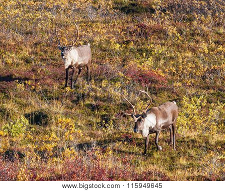 Two Bull Caribou On The Fall Tundra