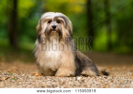 Beautiful Young Havanese Dog Is Sitting On A Gravel Forest Road
