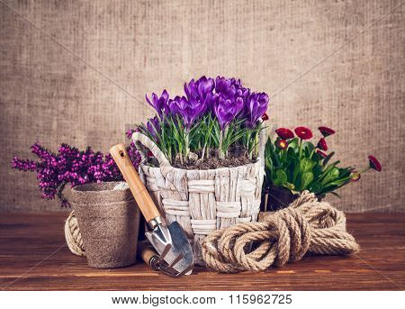 Spring flowers in basket with garden tools on wooden board. Stock photo
