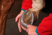 woman using pick to clean horses shoes to prevent thrush poster