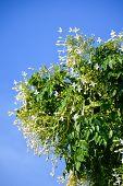 Indian cork flower in garden , Millingtonia hortensis Linn poster