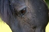horse with lots of fly in face poster