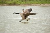 A Canada Goose (Branta canadensis) prepares to land on the waters of a pond while another one has just landed behind it. poster