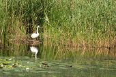 wild swan in reeds on the pond poster