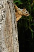 a squirrel on the side of the tree looking out. poster