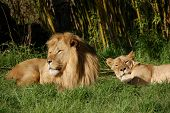 a lion couple sun-bathing at the san francisco zoo poster