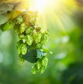 Hop plant close up growing on a Hop farm. Fresh and Ripe Hops ready for harvesting. Beer production ingredient. Brewing concept poster