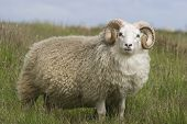 Ram with beautiful horns and wool fur in Iceland. poster