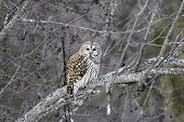 Barred Owl sitting on a tree branch. poster