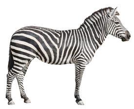 Plain Burchell's Zebra Female Standing Side View On White