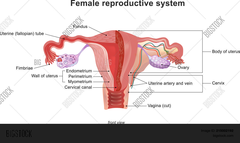 Female Reproductive Vector Photo Free Trial Bigstock