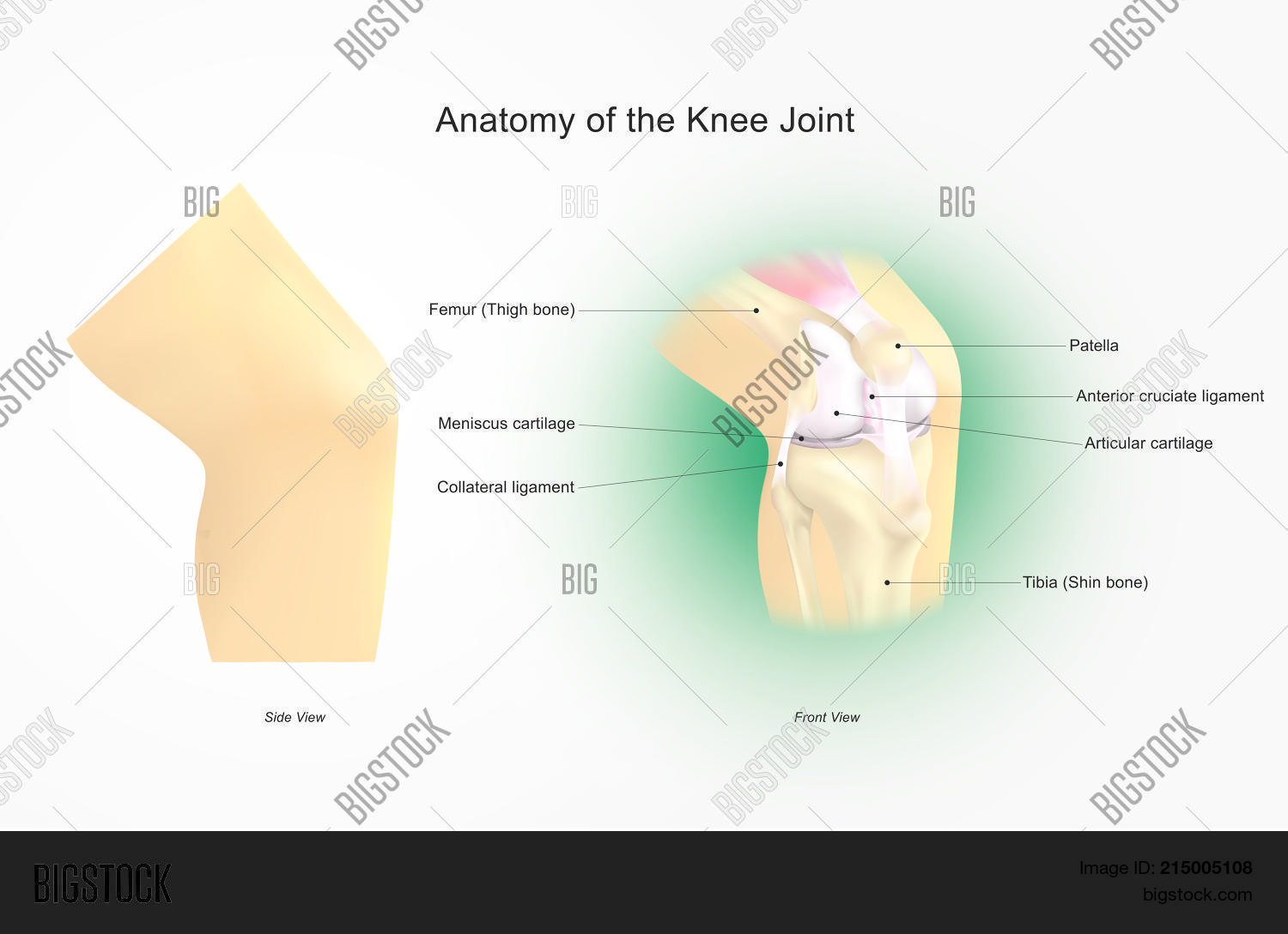 Knee Joint Joins Vector Photo Free Trial Bigstock