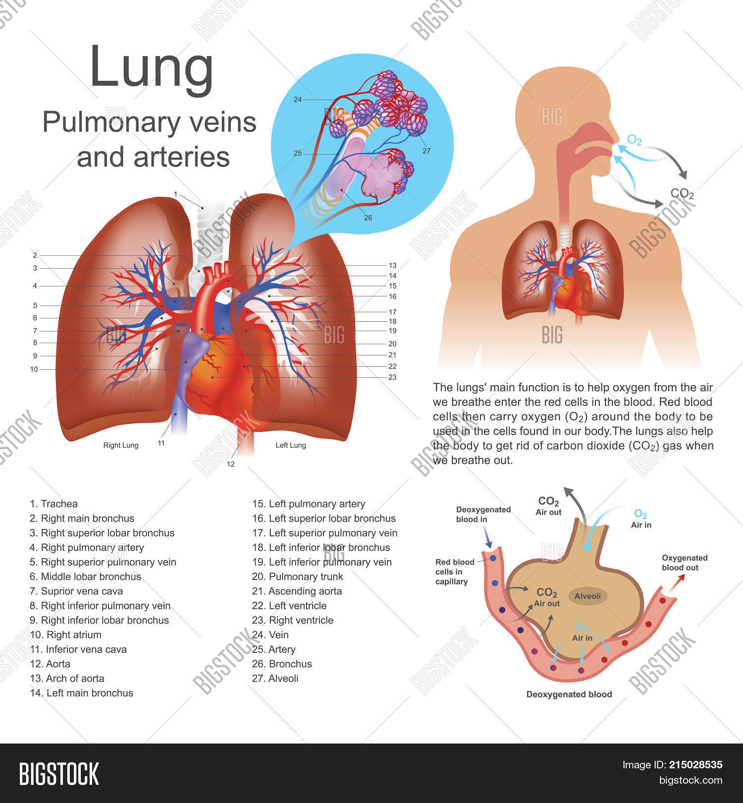 Lungs primary organs respiration image photo bigstock the lungs are the primary organs of respiration in humans and many other animals including a ccuart Gallery