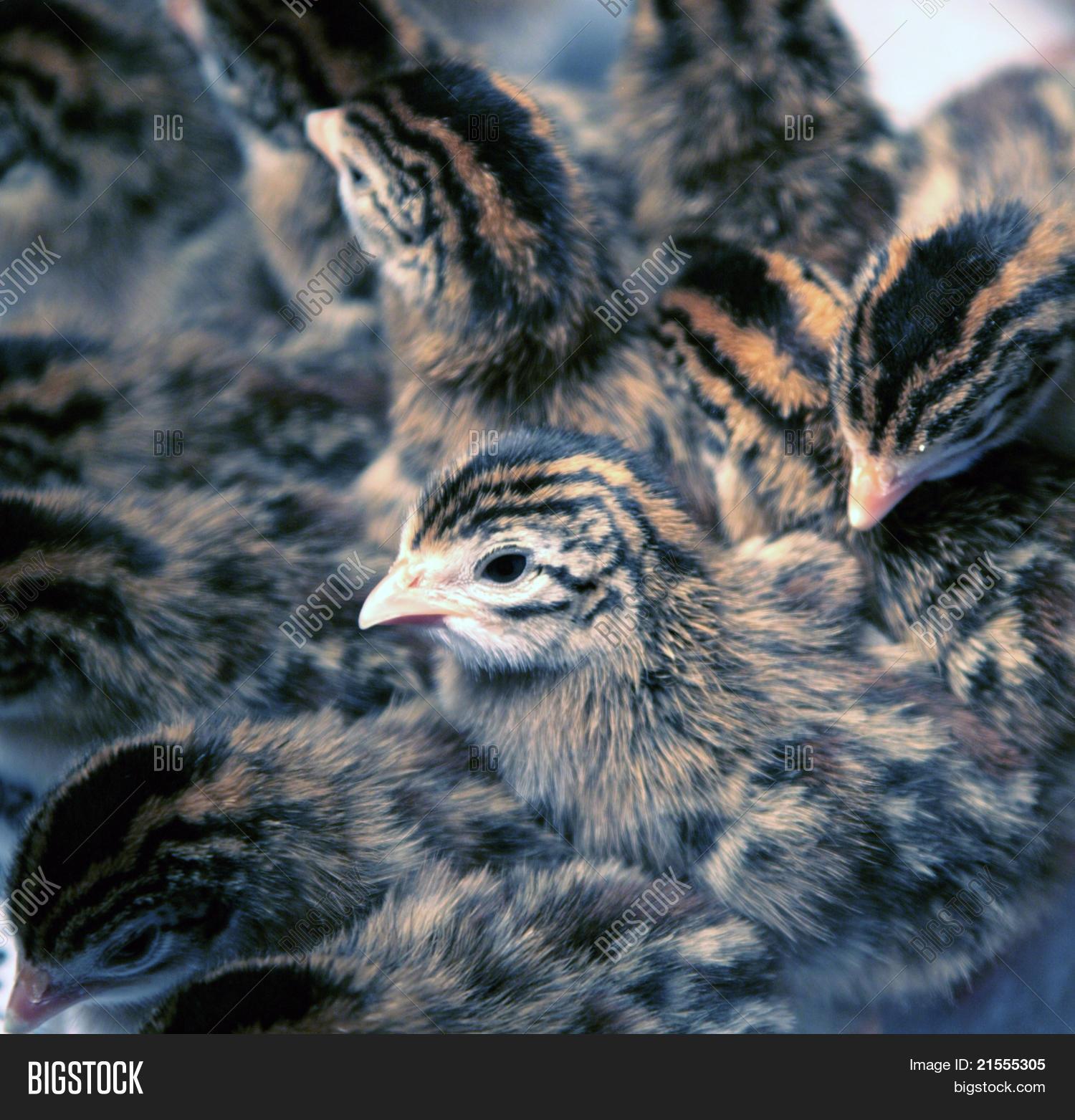 Newborn Guinea Fowl Image Photo Free Trial Bigstock
