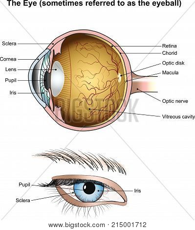 Eyes are the organs of vision. They detect light and convert it into electro-chemical impulses in neurons. Illustration anatomy body.