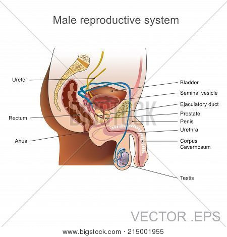 The male reproductive system consists of a number of sex organs that play a role in the process of human reproduction. Illustration vector.