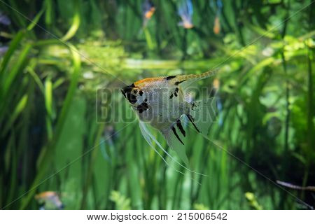 Silver angelfish close up surrounded by freshwater plants in aquarium