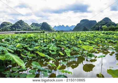 Lotus fields scenery in summer, Guilin, China.