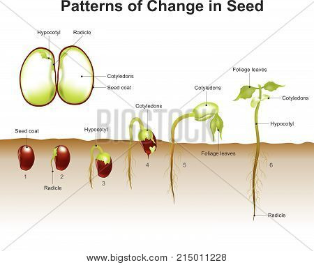 Germination is the process by which a plant grows from a seed. The most common example of germination is the sprouting of a seedling from a seed of an angiosperm or gymnosperm. Education info graphic vector.