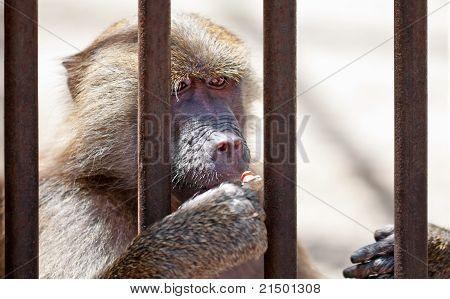 Monkey In Jail