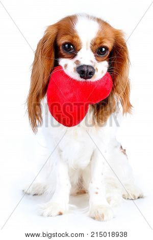 Cute cavalier king charles spaniel dog puppy. Loving dog. Puppy love. Dog with heart. Cuest puppy on isolated white studio background. Puppy love with heart. Cute.